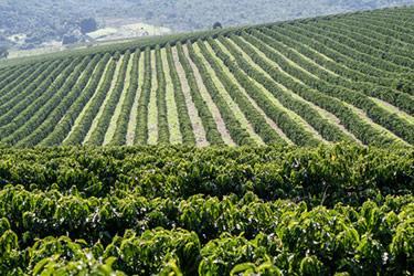 Kaffefält i Brasilien