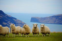 Nya Zealand får kulle