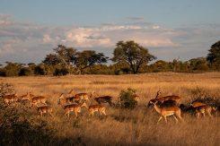 Savannen i Zimbabwe