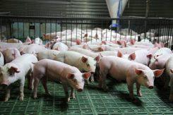 Små grisar, modern farming