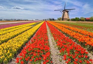 Tulpaner i Holland - Fält med en väderkvarn